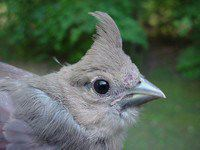 Northern Cardinal fledgling