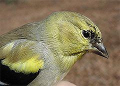 American Goldfinch, banded bird #40,000 at Hilton Pond Center for Piedmont Natural History